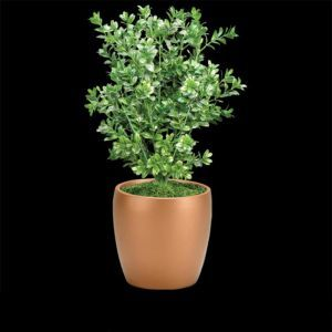 19in. Boxwood Bush with Large Leaves, Outdoor Rated
