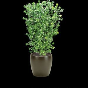 26in. Boxwood Bush with Large Leaves, Outdoor Rated
