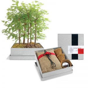 Dawn Redwood Forest Bonsai Box
