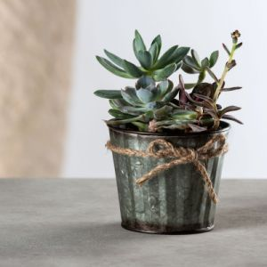 Live Succulent Mix in Ribbed Tin Pot with Rope Bow