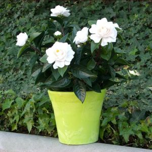 24in. Outdoor Artificial Gardenia - White