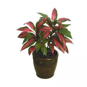 34in. Cordyline - Red/Green|Indoor