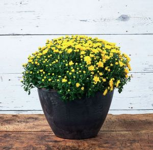 16in. Naples Bowl Planter - Choose from 3 colors
